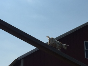 A goat on a bridge above the picture-taker