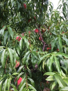 Several ripe peaches hanging from a tree