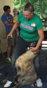 Woman demonstrating how to shear sheep
