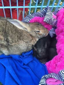 A giant bunny snuggled up against two black teacup pigs
