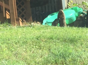 Photo of groundhog and groundhog baby in a yard with green grass and a turtle-shaped toddler pool behind them.