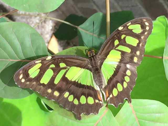 Photo of a Siproeta stelenes, a green and black butterfly sitting on some leaves
