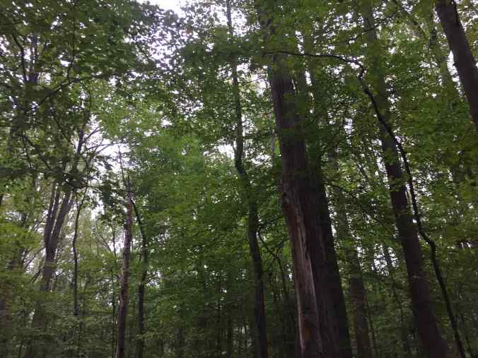 Photo of deciduous trees at Wheaton Regional Park