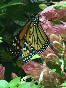 Monarch butterfly at Smithsonian Butterfly House